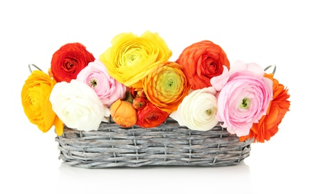 buttercups: Ranunculus (persian buttercups) in basket, isolated on white