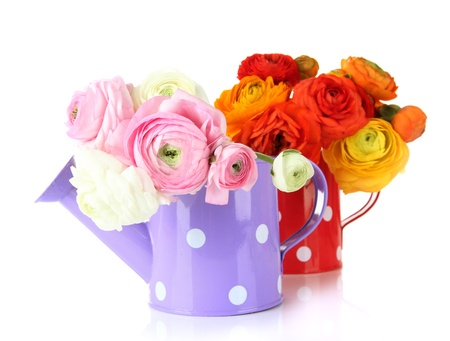 Ranunculus (persian buttercups) in watering cans, isolated on white photo