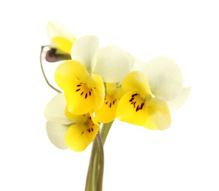 Little wild pansies, isolated on white photo