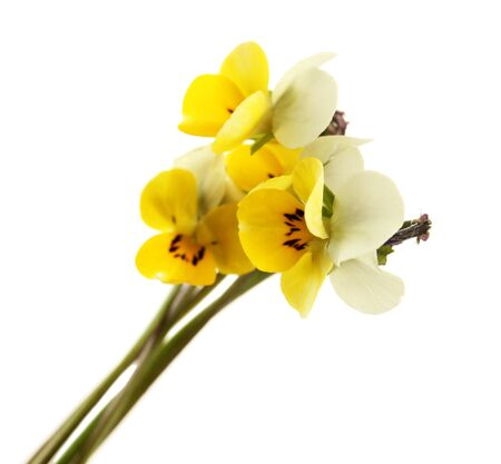 Little wild pansies isolated on white photo