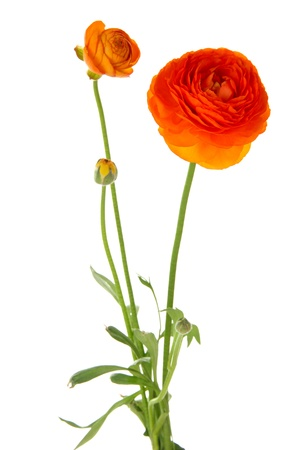 buttercups: Ranunculus (persian buttercups), isolated on white