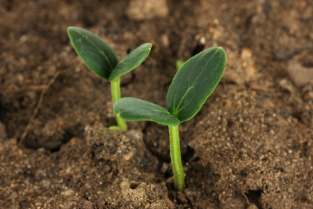 Green seedling growing from soil close-up  photo