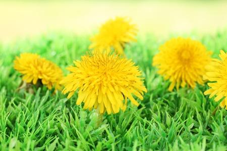 pedicel: Dandelion flowers on grass on bright background