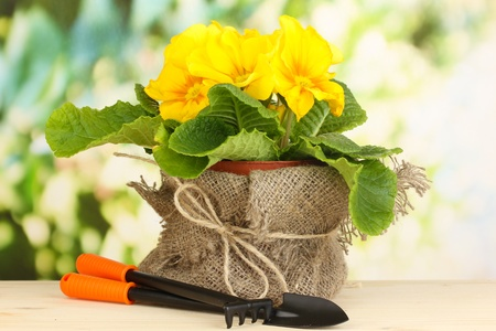 Beautiful yellow primula in flowerpot on wooden table on green background Stock Photo - 19323810