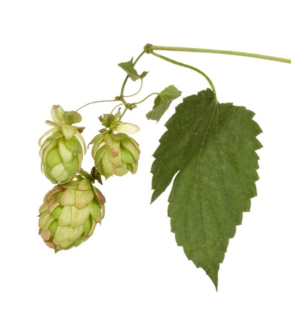 beautiful green hop isolated on white Stock Photo - 19322276