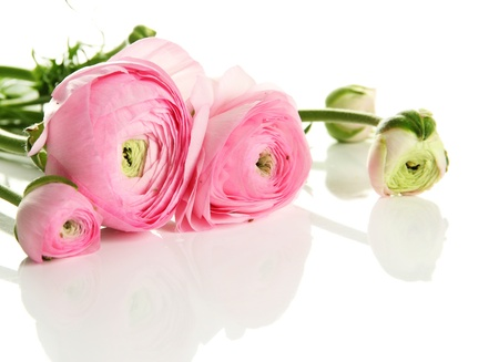 ranunculus: Ranunculus (persian buttercups), isolated on white