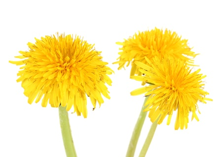 Dandelion flowers isolated on white photo