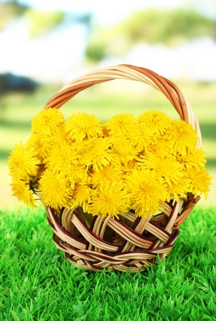 Dandelion flowers in wicker basket on grass on bright background photo