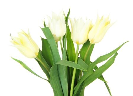 Beautiful white tulips isolated on white Stock Photo - 19763500