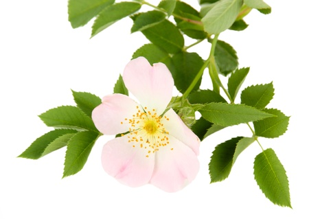 Hip rose flower, isolated on white photo