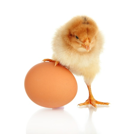 baby animals: Little chicken with egg  isolated on white