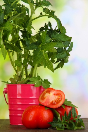 Fresh tomatoes and young plant in bucket on wooden table on natural background photo