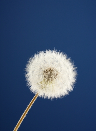 Beautiful dandelion with seeds on blue background photo
