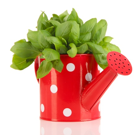 Fresh herb in colorful watering can isolated on white photo