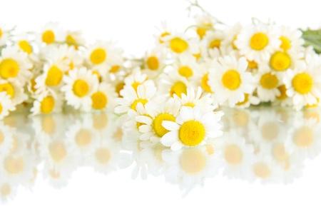 흰색에 고립 된 많은 카모마일