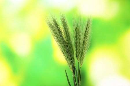 spikelets: Spikelets on nature background