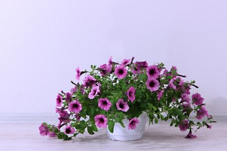 Purple petunia in flowerpot on room background