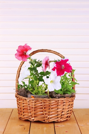 Petunias in pots in basket on wooden background photo