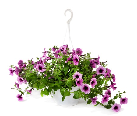 Purple petunia in flowerpot isolated on white Stock Photo
