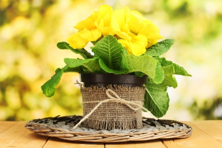 Beautiful yellow primula in flowerpot on wooden table on green background Stock Photo - 20210049