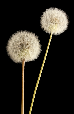 Beautiful dandelions with seeds on black background photo