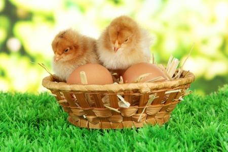 Little chickens with eggs in wicker basket on grass on bright background Standard-Bild