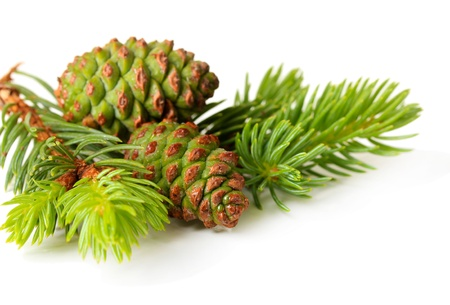 Green cones and fir tree isolated on white photo
