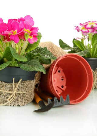 replanting: Beautiful pink primulas in flowerpots and gardening tools, isolated on white