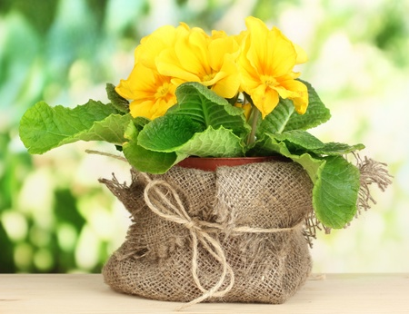 Beautiful yellow primula in flowerpot on wooden table on green background photo