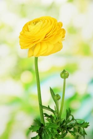 buttercup persian: Ranunculus (ranuncolo persiano), su sfondo verde Archivio Fotografico