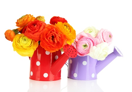 buttercups: Ranunculus (persian buttercups) in watering cans, isolated on white