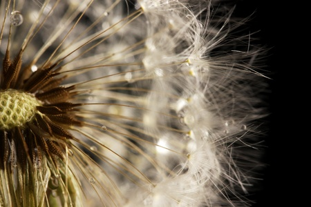 Beautiful dandelion with seeds on black background photo