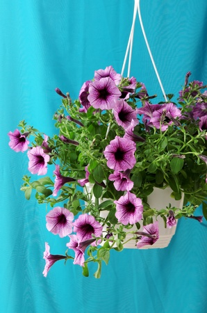 Purple petunia in flowerpot on cloth background photo