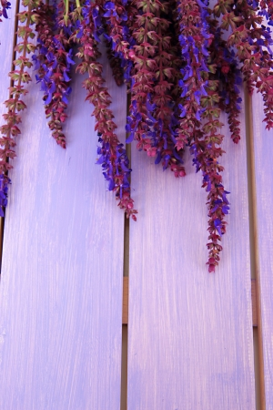 botanical medicine: Salvia flowers on purple wooden background