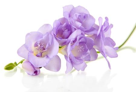 flores moradas: Hermosa freesia, aislado en blanco Foto de archivo