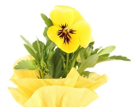 Beautiful pansy flower isolated on white photo