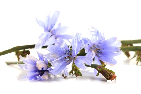 Witlofbloemen, op wit worden geïsoleerd dat