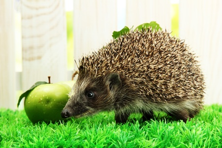 Hedgehog with leaf and apples, on grass,  on fence background photo