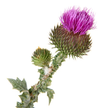 wild botany: Thistle flower isolated on white Stock Photo