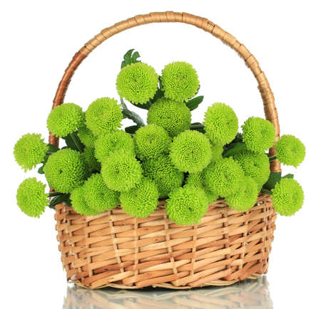 Beautiful green chrysanthemum in wicker basket isolated on white photo