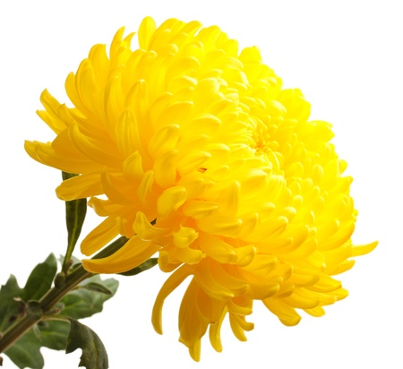 Yellow autumn chrysanthemum isolated on white photo