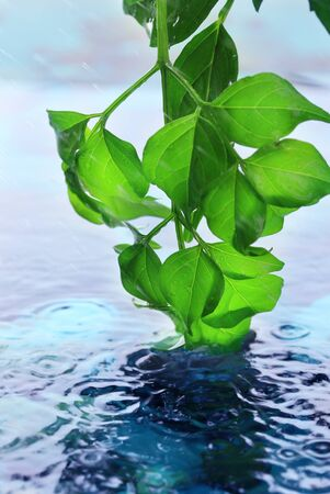Green leaves with reflection in water photo