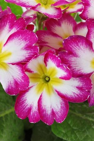 Beautiful pink primula, close up photo