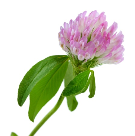 Clover flower isolated on white photo