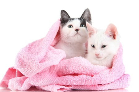 pink pussy: Two small kitten in pink towel isolated on white