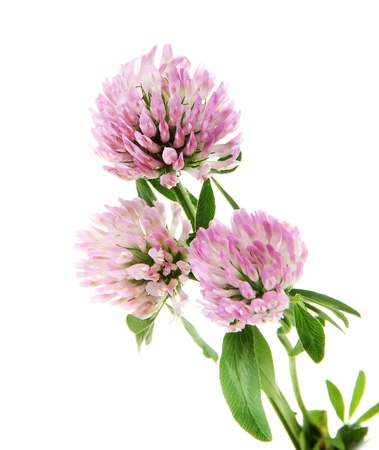 Clover flowers isolated on white photo
