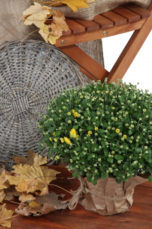 Chrysanthemum bush in pot with yellow leaves and chair close up Stock Photo - 22711501