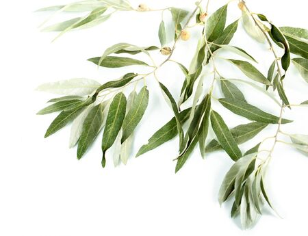 Olive branch isolated on white photo