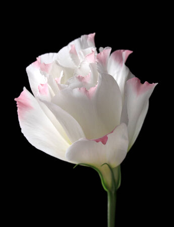 Eustoma flower, isolated on black photo
