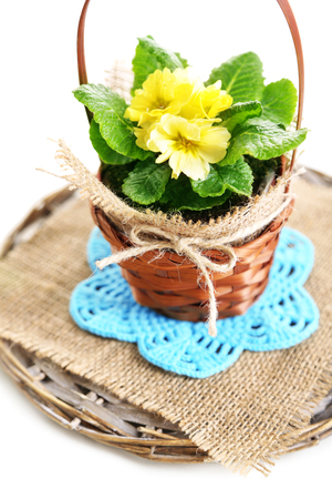 Yellow primrose in  wicker basket, on napkin, isolated on white photo